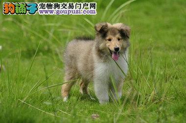 曲靖出售纯种苏牧幼犬 疫苗做齐 终生质保