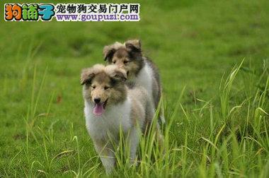 巢湖纯种健康苏牧幼犬公母都有疫苗做齐 签订质保协议