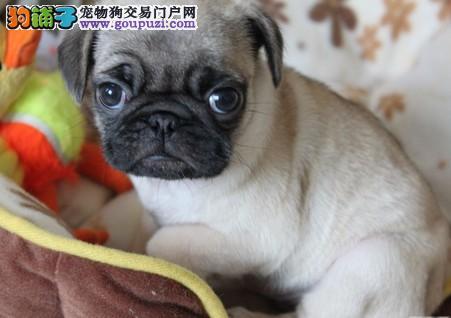 东莞什么地方有狗场卖巴哥犬宠物狗东莞哪里有卖4
