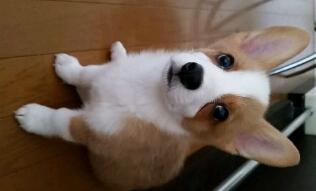 柯基犬啃骨头的误区以及不能吃的食物