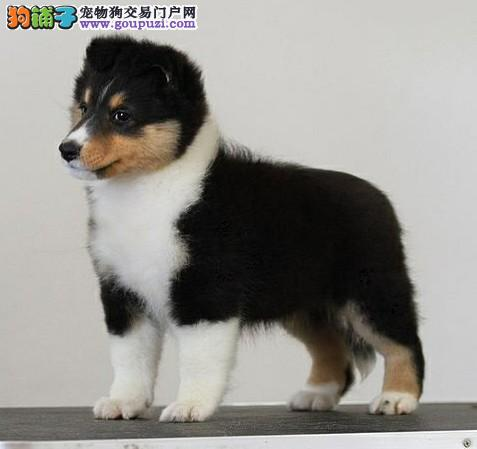 出售喜乐蒂牧羊犬幼犬纯种雕色家养健康宠物狗狗可上门