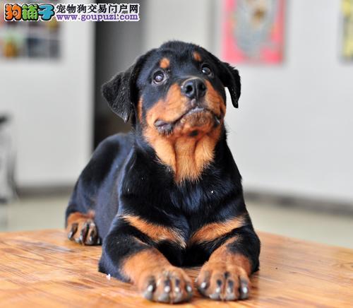 上海顶级护卫犬大骨架罗威纳幼犬 看家护院首选