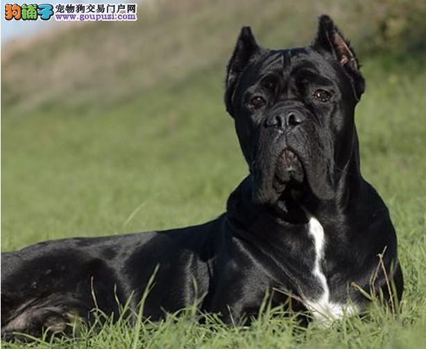 公母均有的卡斯罗犬找爸爸妈妈赠送全套宠物用品