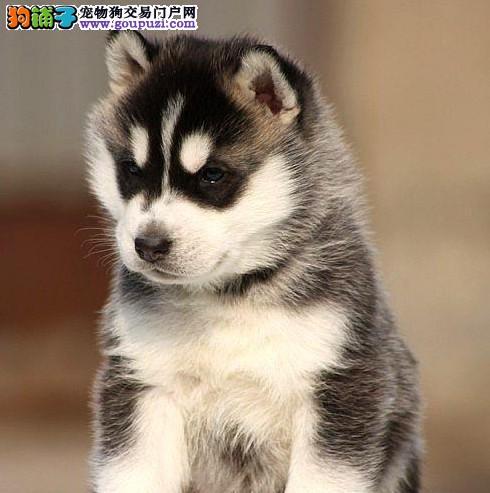大理州自家繁殖二哈出售蠢萌气质哈士奇温顺开朗家庭犬2