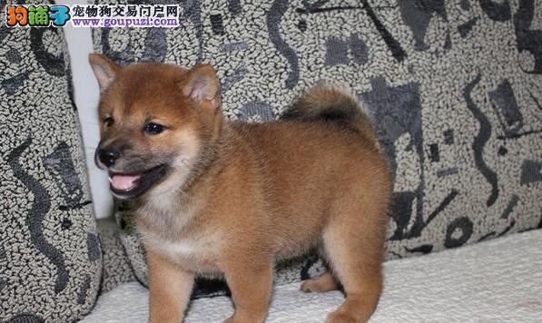 上海奉贤哪里有柴犬出售 欢迎到我狗场挑选您的爱犬
