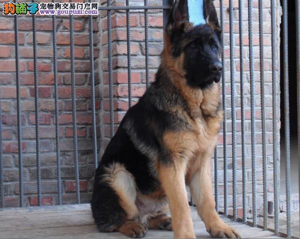 纯种德国牧羊犬俱乐部 交易区图片
