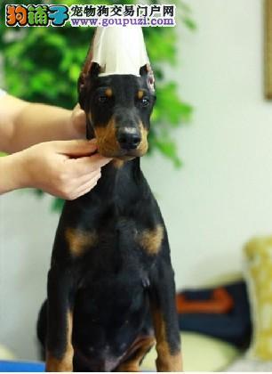 高品质杜宾犬幼犬,一宠一证视频挑选,喜欢加微信