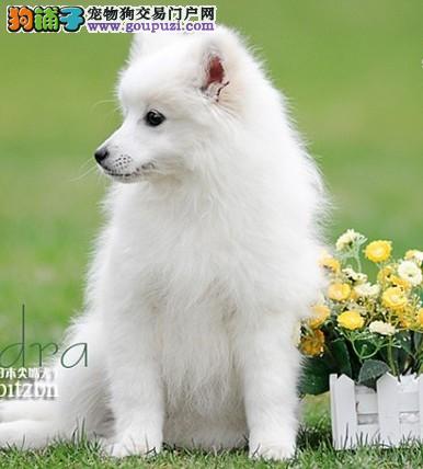 科普知识 如何照顾不同性格的银狐犬
