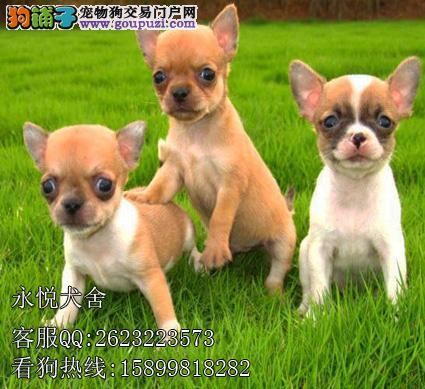 东莞吉娃娃狗专卖 狗场直售 2\/4月龄吉娃娃幼犬