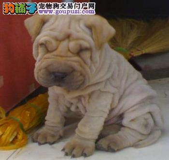 直销沙皮狗幼犬,CKU认证犬舍,喜欢加微信
