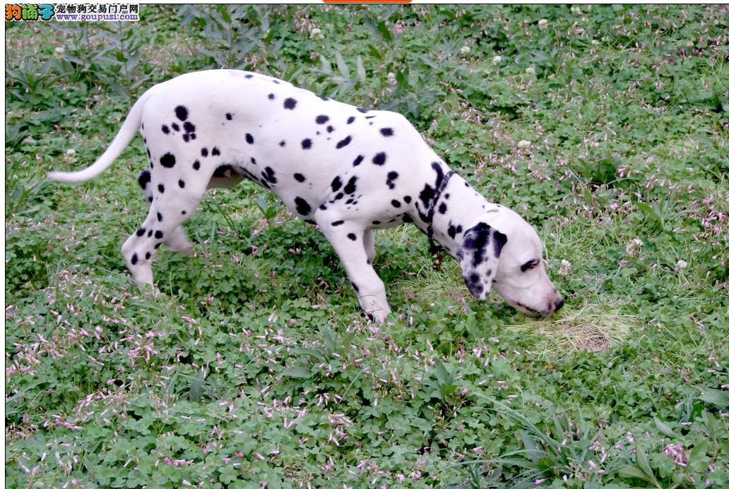 自家养殖纯种斑点狗低价出售签署各项质保合同