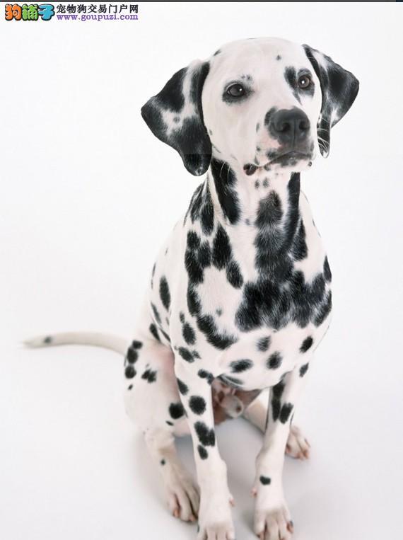 六盘水出售斑点狗平静警惕 聪明伶俐 保健康火热销售中