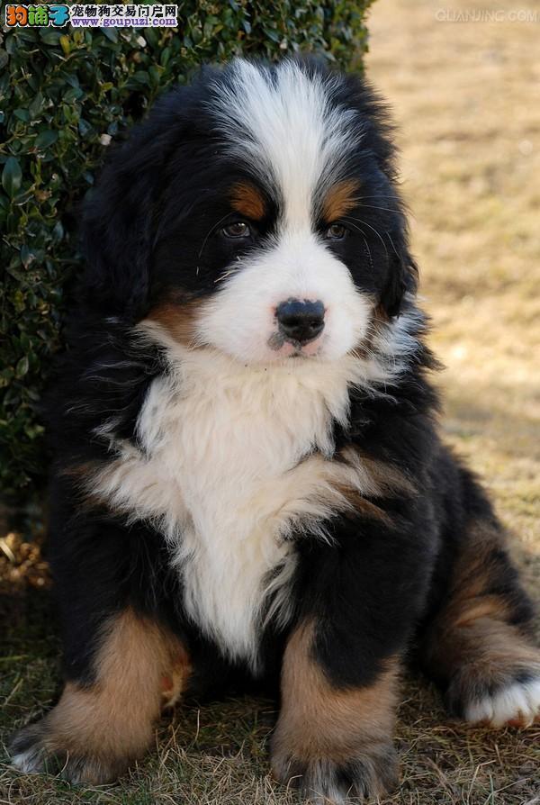 福州大型犬舍自己繁殖优秀伯恩山 喜欢的朋友欢迎咨询