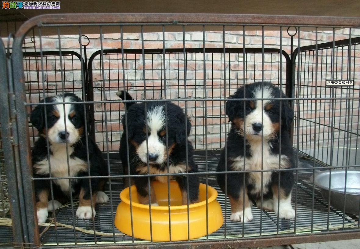 CKU认证犬舍出售高品质伯恩山品质一流三包终身协议