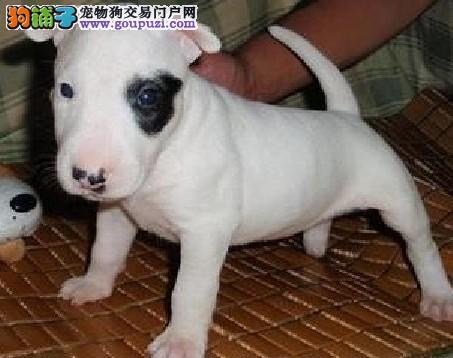 知名犬舍出售多只赛级牛头梗终身质保终身护养指导