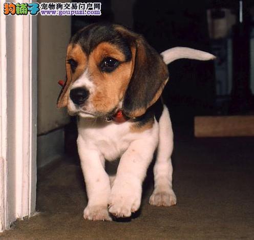 纯种比格犬 宠物狗 米格鲁犬 比格价格 比格图片3