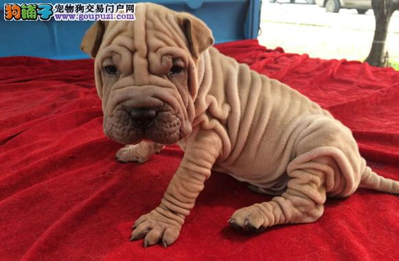 精品纯种沙皮狗出售质量三包微信咨询视频看狗