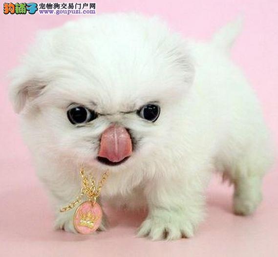 实物拍摄的青岛京巴找新主人微信看狗真实照片包纯