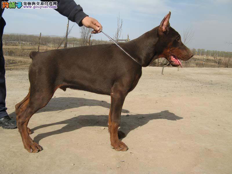 出售纯种德系 美系杜宾犬幼犬 视频挑选