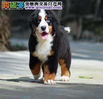 广州市出售伯恩山幼犬 带血统证书 签协议 价格优惠