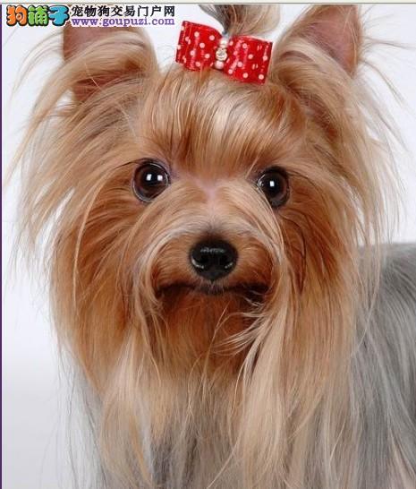 高颜值约克夏犬 银背约克夏宠物狗 身体健康品相好