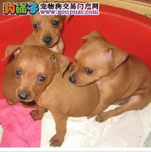 杭州纯种小鹿犬数只,公母都有,小巧可爱 欢迎上门