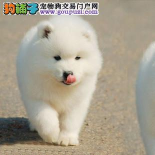自己繁殖的熊版萨摩耶出售 保养活 全国包邮 终身售后