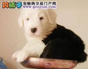 形象佳,气质ok的古牧幼犬,纯白头,纯血统3