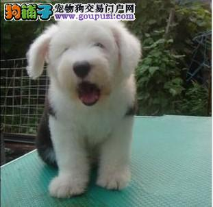 形象佳,气质ok的古牧幼犬,纯白头,纯血统4