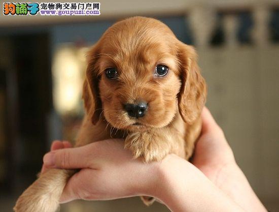 杭州最大宠物连锁出售赛级纯种美卡可卡狗狗