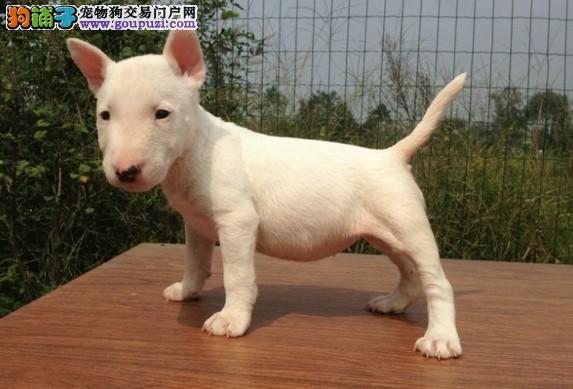 杭州最大狗场繁殖 直销牛头梗 驱虫 疫苗都已按时做好