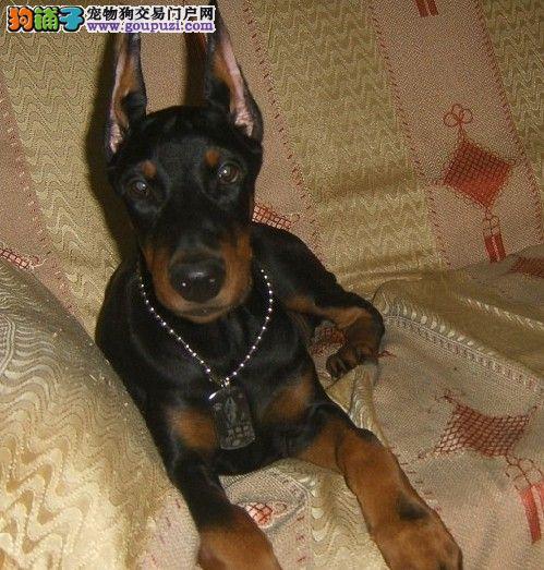 郑州出售杜宾犬颜色齐全公母都有爱狗人士优先狗贩勿扰2