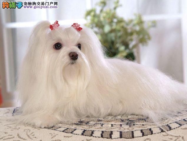 重庆实体店低价促销赛级马尔济斯幼犬购犬可签协议4