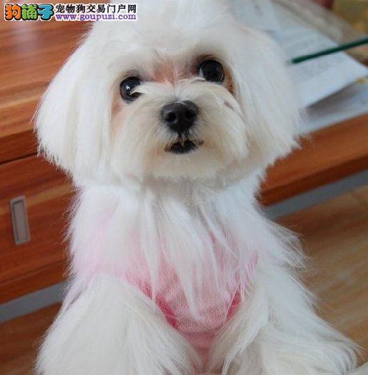 重庆实体店低价促销赛级马尔济斯幼犬购犬可签协议3