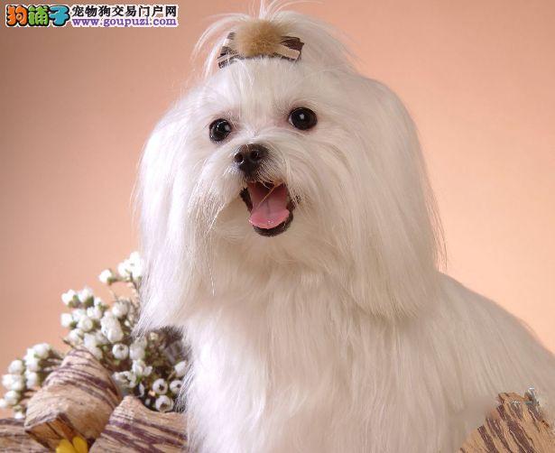 马尔济斯CKU认证犬舍自繁自销签订终身纯种健康协议