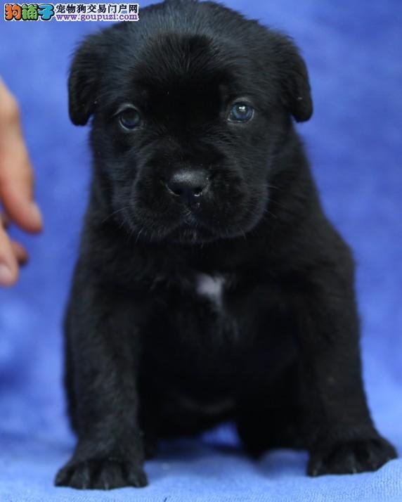 出售卡斯罗幼犬 纯种健康 质保 可签协议 欢迎上门选购