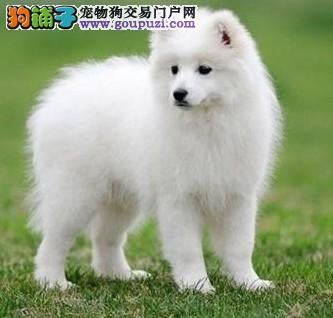 上海银狐犬包养活出售签健康协议当场体检漂亮尖嘴犬