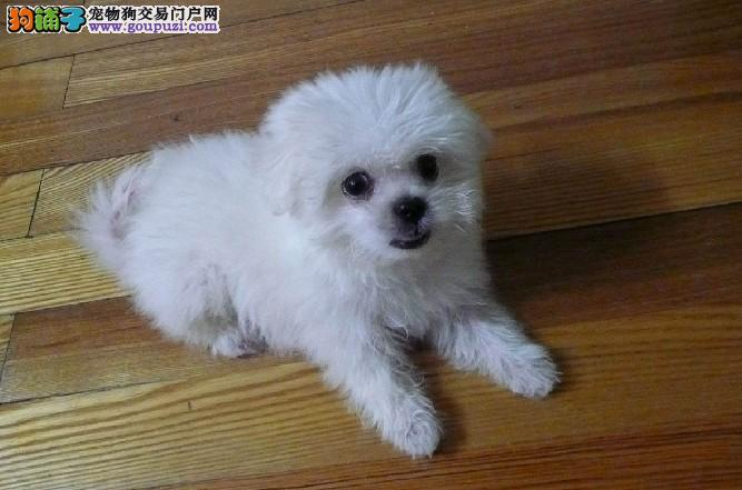 高品质马尔济斯幼犬、顶级品质专业繁殖、三年联保协议