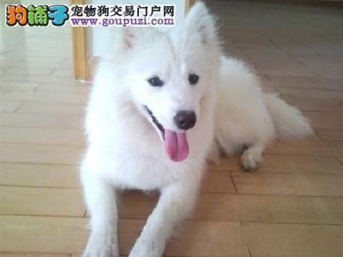 极品银狐犬热销中,一宠一证视频挑选,微信咨询看狗