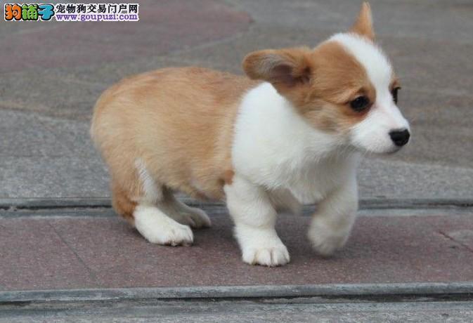 正宗威尔士小短腿柯基犬出售中包纯种健康驱虫齐全