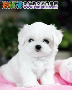 CKU认证犬舍出售高品质马尔济斯优质售后服务3