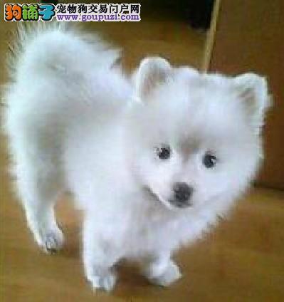青岛出售银狐犬颜色齐全公母都有终身售后协议