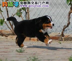 济南精品高品质伯恩山幼犬热卖中可直接微信视频挑选