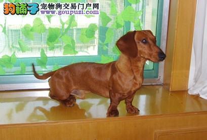 专业繁殖 纯种健康腊肠犬迷你腊肠幼犬 品相好保健康