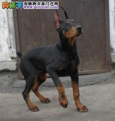 杜宾好养吗哪里有卖纯种的杜宾犬杜宾有几种颜色的