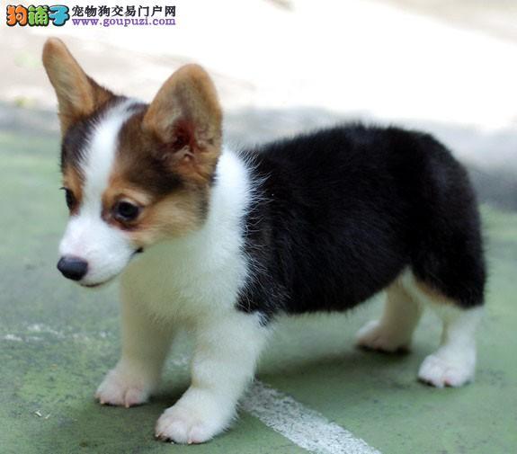 精品短腿纯种 威尔士柯基犬 三色黄白色柯基幼犬