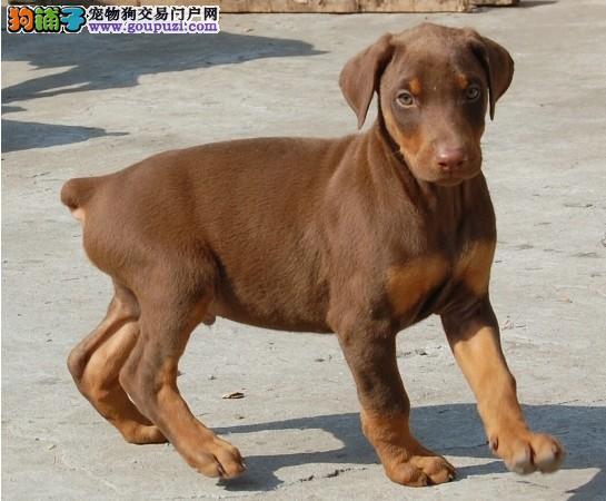 出售杜宾犬颜色齐全公母都有喜欢的别错过1
