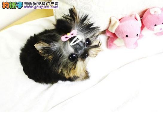 南宁出售约克夏幼犬品质好有保障喜欢微信咨询