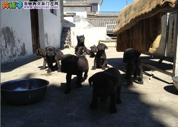 云南专业繁殖卡斯罗犬,长期有幼犬出售4