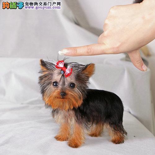 直销纯种健康约克夏幼犬疫苗已做可上门挑选图片